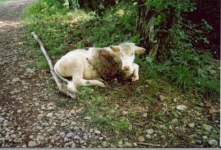 Så gör varg med kalv