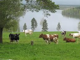 Kor vid sjö