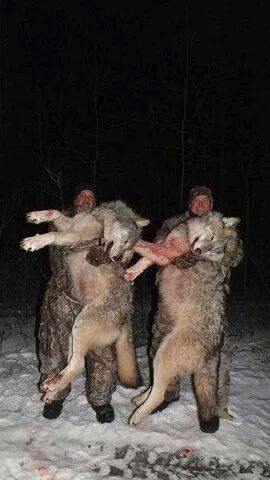 Vargar är inga små gosedjur
