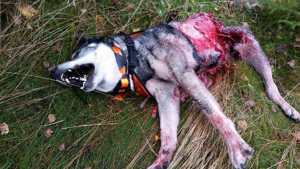 Hund angrep och dodade renkalvar